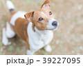 見上げる犬 ジャックラッセルテリア 39227095