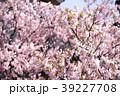 桜 さくら サクラの写真 39227708