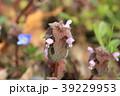 姫踊り子草 草花 春の写真 39229953