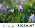 カタクリ 花 植物の写真 39239197