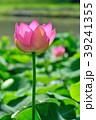 蓮 大賀蓮 花の写真 39241355