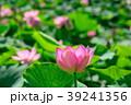 蓮 大賀蓮 花の写真 39241356