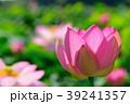 蓮 大賀蓮 花の写真 39241357