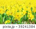 水仙 花 花畑の写真 39241384
