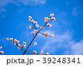 桜 彼岸桜 青空の写真 39248341