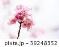 桜 彼岸桜 春の写真 39248352