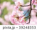 桜 彼岸桜 春の写真 39248353