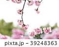 桜 彼岸桜 春の写真 39248363