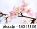 桜 彼岸桜 春の写真 39248366