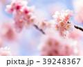 桜 彼岸桜 春の写真 39248367