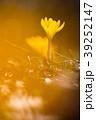 花-クロッカス 39252147