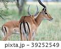 セレンゲティ国立公園  39252549
