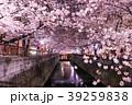 春 染井吉野 目黒川の写真 39259838