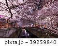 春 染井吉野 目黒川の写真 39259840