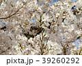 桜の花と新芽 39260292