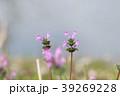 三階草 シソ科 オソリコソウ属の写真 39269228