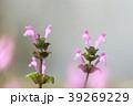 三階草 シソ科 オソリコソウ属の写真 39269229