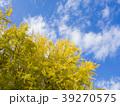 銀杏の木 39270575
