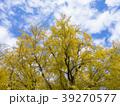 銀杏の木 39270577