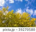 銀杏の木 39270580