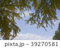 銀杏の木 39270581