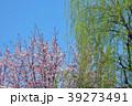 桜と柳  39273491