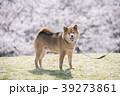 満開の桜背景の笑顔の柴犬、カメラ目線 39273861