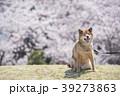 満開の桜背景の笑顔の柴犬、カメラ目線 39273863