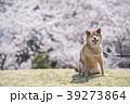 満開の桜背景の笑顔の柴犬、カメラ目線 39273864