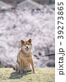 満開の桜背景の笑顔の柴犬、カメラ目線 39273865