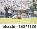 柴犬 桜 満開 公園 カメラ目線 39273866