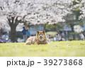 柴犬 桜 満開 公園 カメラ目線 39273868