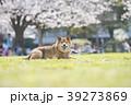 柴犬 桜 満開 公園 カメラ目線 39273869