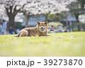 柴犬 桜 満開 公園 カメラ目線 39273870