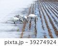 田んぼと白鳥 39274924