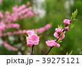 可愛いモモの花一枝9 39275121