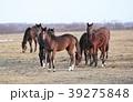 サラブレッド 馬 放牧の写真 39275848