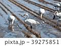 田んぼと白鳥 39275851