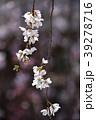 桜 枝垂れ桜 糸桜の写真 39278716