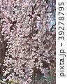 桜 枝垂れ桜 糸桜の写真 39278795