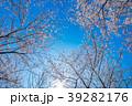 ソメイヨシノ 桜 花の写真 39282176