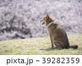 桜と柴犬 39282359