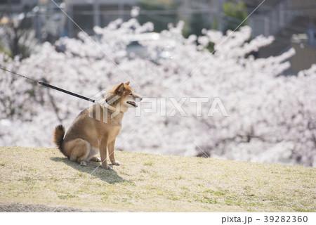 桜と柴犬 39282360