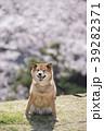 桜と柴犬 カメラ目線  39282371