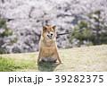 桜と柴犬 39282375