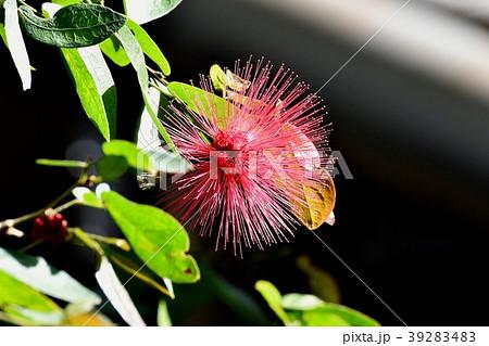 調布の植物園に咲くカリアンドラセロイ(トキワネム) 39283483