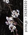 桜 枝垂れ桜 糸桜の写真 39284030