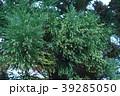 杉の花芽 花言葉は「堅固」 39285050