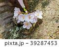 桜の花と新芽 39287453