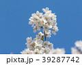 桜と青空 39287742